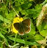 Brown Argus at South Fambridge (Paul Baker) (137158 bytes)