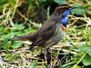 Bluethroat at Gunners Park (Steve Arlow) (34478 bytes)